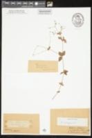 Galium pilosum var. pilosum image