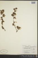 Image of Ribes irriguum