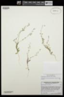 Thysanocarpus curvipes image