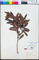 Morella californica image