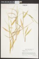 Urochloa platyphylla image