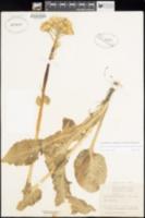 Senecio integerrimus image