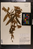 Image of Buddleja officinalis