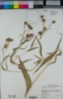Helianthus californicus image