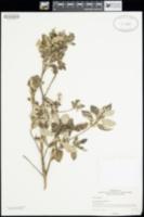 Image of Vitex trifolia