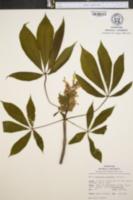 Aesculus octandra image