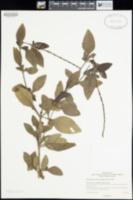 Image of Stachytarpheta dichotoma