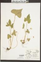 Viola palmata var. triloba image