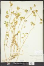 Trifolium striatum image