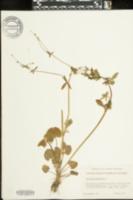 Ranunculus abortivus image