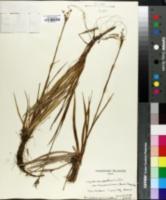Image of Luzula hawaiiensis