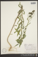 Image of Palafoxia hookeriana