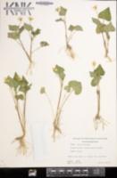 Image of Viola eriocarpon