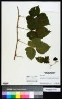 Image of Rubus caesius