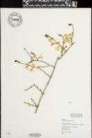 Forsythia viridissima image
