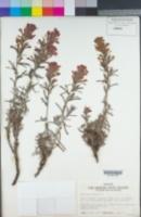 Castilleja foliolosa image