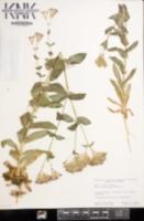 Silene armeria image
