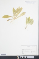 Image of Erigeron darrellianus