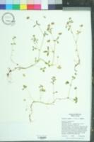 Image of Trifolium bifidum
