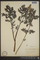 Image of Corydalis brandegei