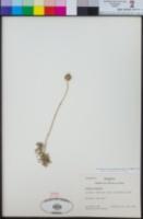 Image of Glandularia sulphurea
