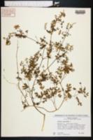 Fumaria capreolata image