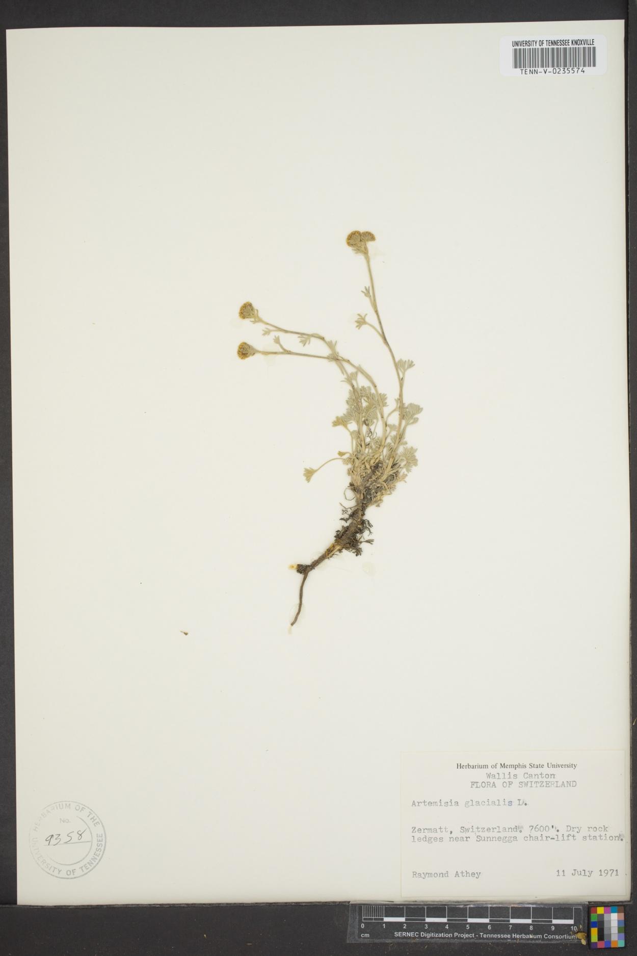 Artemisia glacialis image
