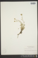 Image of Artemisia glacialis