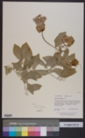 Image of Cobaea scandens