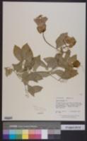 Image of Cobaea scandens