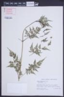 Image of Bidens cynapiifolia