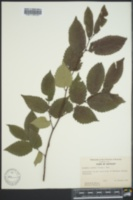 Zelkova serrata image