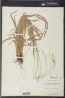 Carex montana image