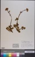 Valeriana acutiloba image