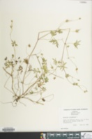 Image of Geranium columbinum