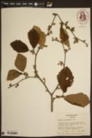 Image of Hamamelis macrophylla