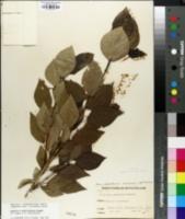 Image of Populus x berolinensis