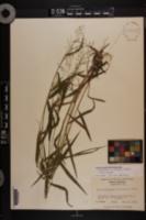 Dichanthelium yadkinense image