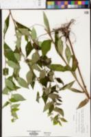 Lithospermum latifolium image