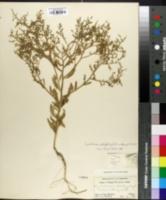 Image of Cycloloma platyphyllum