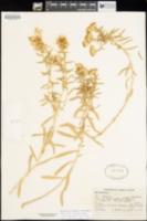 Isocoma drummondii image