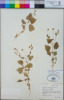 Perityle microglossa image