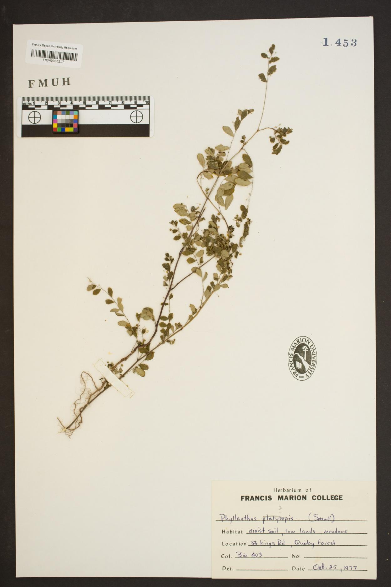 Phyllanthus image