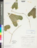 Image of Dioscorea floribunda