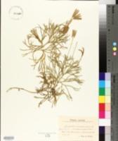 Diphasiastrum complanatum subsp. complanatum image