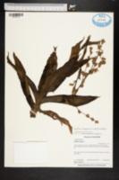 Callisia fragrans image