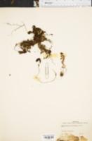 Image of Hymenophyllum myriocarpum