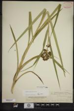 Scirpus hattorianus image