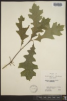 Quercus shumardii var. shumardii image