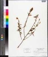 Oenothera perennis image